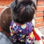 Бельгийский гриффон – собака, похожая на маленькую обезьянку