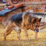 Немецкая овчарка — умный, надёжный и преданный друг