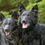 Порода собак муди (венгерская пастушья собака)