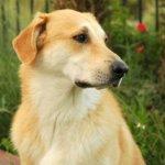 Чинук — собака обладающая прекрасными рабочими качествами