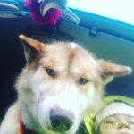Гренландская собака - фото