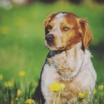 Бретонский эпаньоль — элегантный красавец и выдающийся охотник