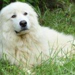 Удивительная собака Акбаш — пастух, сторож, друг