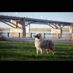 Австралийская овчарка фото 1