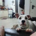 Взрослый щенок американского бульдога