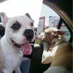 Фото щенка бульдога 5