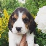 Щенок собаки Бигль - фото