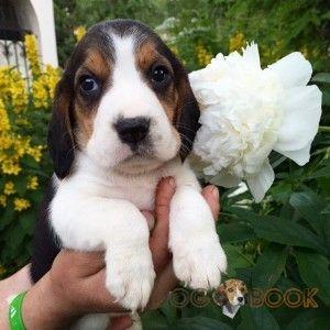 Щенок собаки Бигль - фото 2