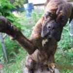 Собака боксер фото 5