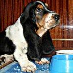 Фото щенка бассет хаунд