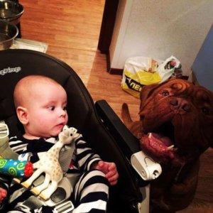 Бордосский дог очень любит детей