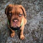 Бордосский дог - щенок