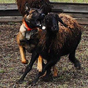 Малинуа - отличные пастухи овец