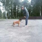Дрессировка щенка тервюрена