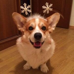 Пемброк снегурочка