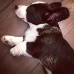 Вельш корги кардиган - фотография щенка