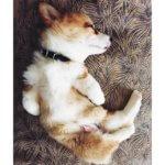 Спящий щенок вельш корги пемброк
