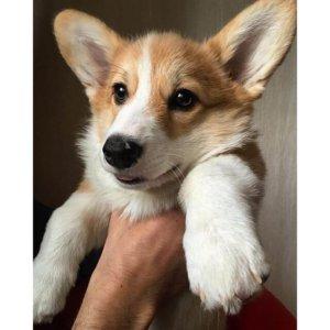 Взрослый щенок вельш корги пемброк