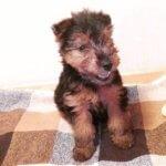 Молодой щенок вельштерьера