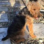 Вельштерьер - фото породы собаки