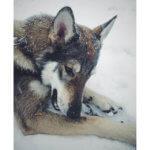 Волкособ фото 7