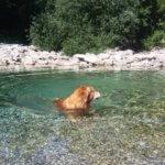 Золотистый ретривер купается