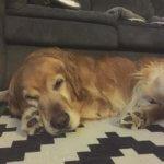 Золотистый ретривер спит
