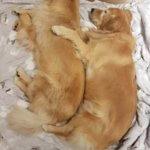 Золотистые ретриверы мило спят