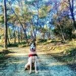 Западносибирская лайка в лесу