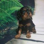 Фото щенка - кавалер кинг чарльз спаниель