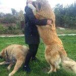 Кавказская овчарка c хозяином
