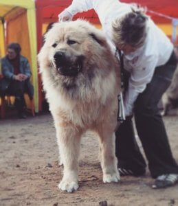 Кавказская овчарка - фото 6