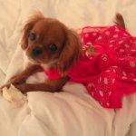 Кавалер кинг чарльз спаниель - фото щенка