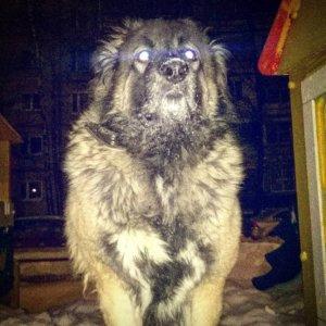 Кавказская овчарка - фото 5