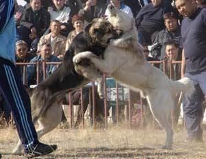 Кто сильней - алабай или кавказская овчарка?