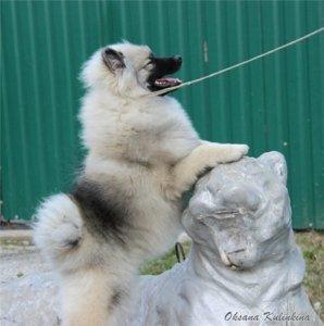 Кеесхонд со статуей