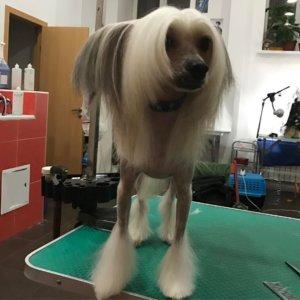 Китайская хохлатая собака - фото 2