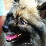 Кеесхонд - порода собаки