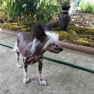 Китайская хохлатая собака - фото 8