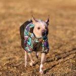 Китайская хохлатая собака - фото 5
