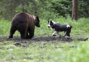 Карельская медвежья лайка - фото 2