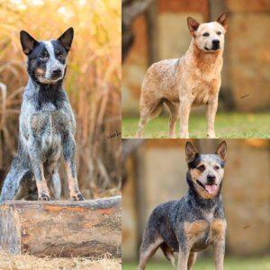 Австралийская пастушья собака - фото 2