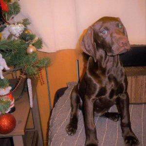 Щенок курцхаара - в коричневом окрасе