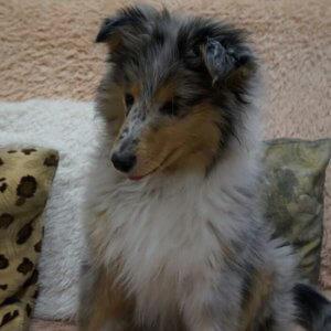 Колли - фото щенка 2