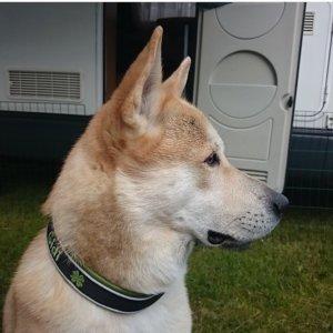 Ханаанская собака - фото