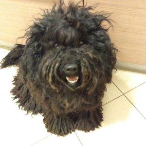Собака Пули - фото