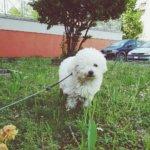 Собака болоньез - фото