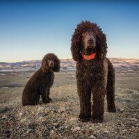 две собаки с шерстью коричневого цвета