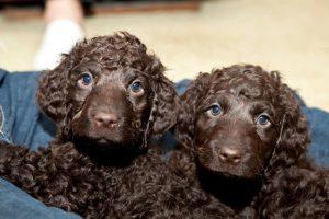 два щенка спаниеля