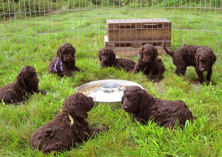 семь щенков на траве